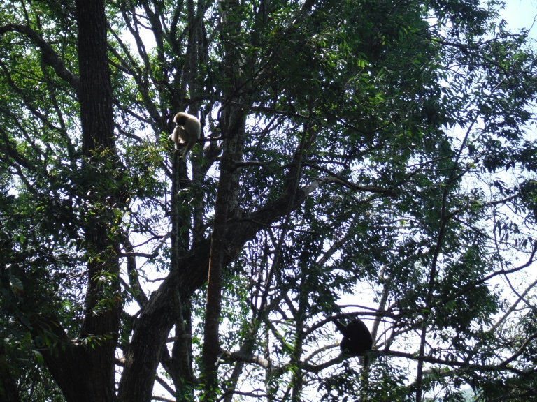 Spot the gibbon: some of the gibbons the company are campaigning to protect in Mae Kampong