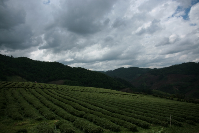 The rolling tea plantations